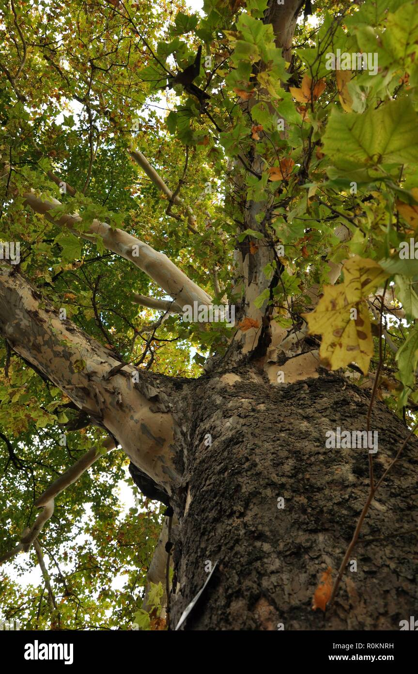 Bottom view of an very big secular oak on autumn. Vertical - Stock Image