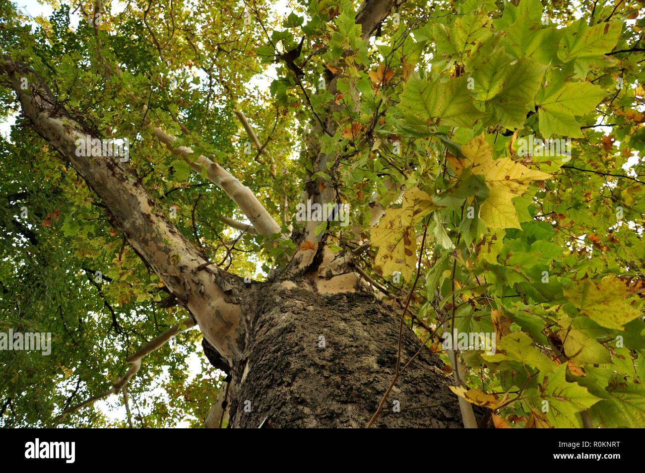 Bottom view of an very big secular oak on autumn - Stock Image