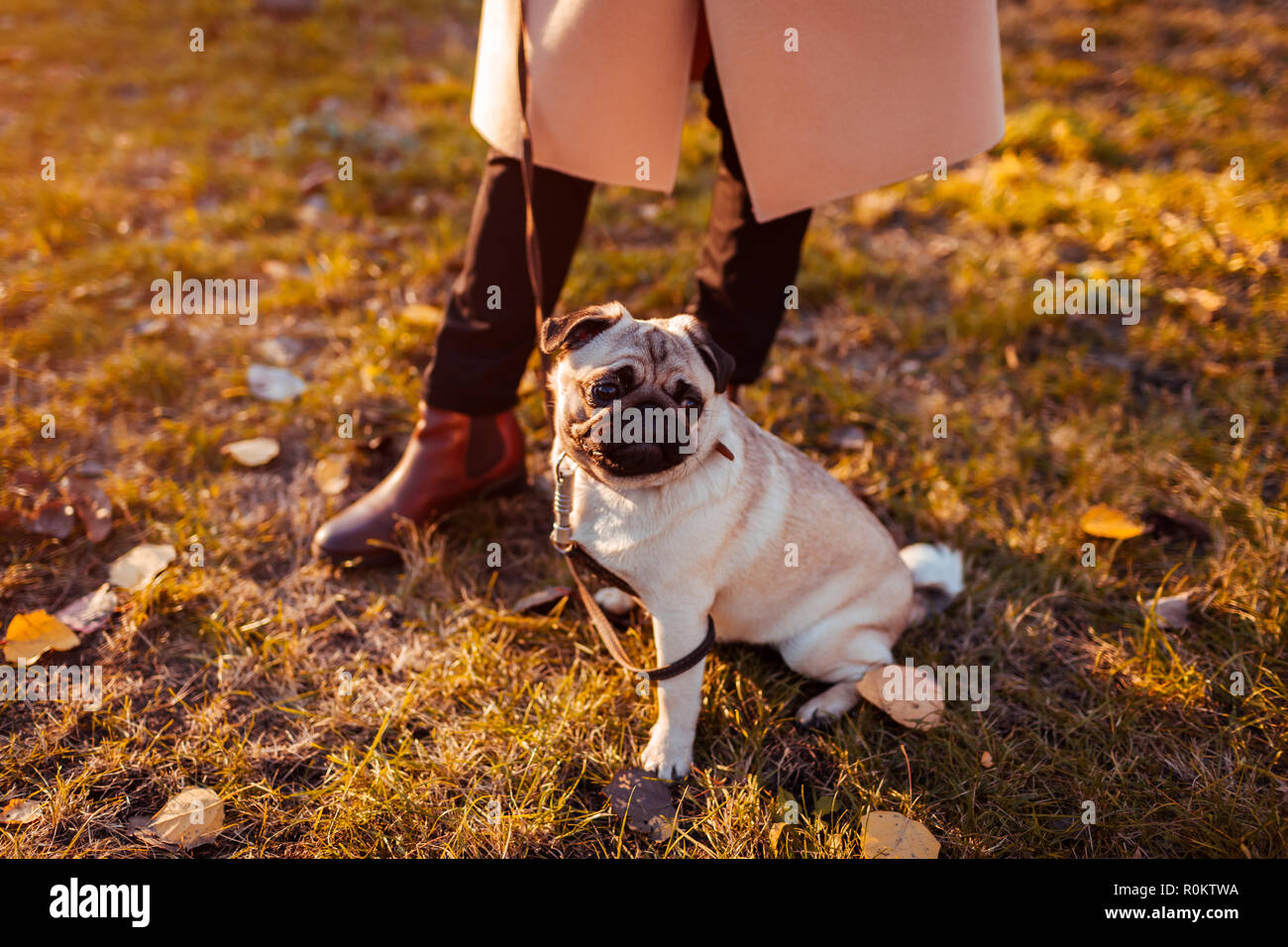 Master walking pug dog in autumn park. Happy puppy sitting by woman's legs. Dog chilling - Stock Image