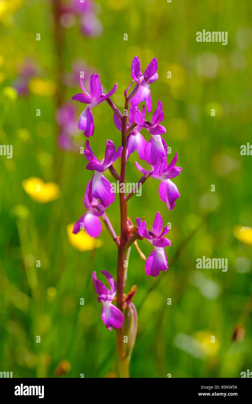 Lax-flowered orchid (Anacamptis laxiflora), Korab-Koritnik nature park Park, Qark Kukes, Albania - Stock Image