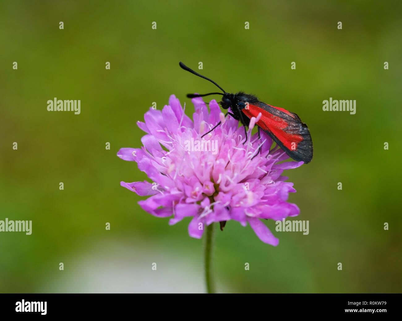 Transparent burnet (Zygaena purpuralis), on flower of field widow flower, National Park Theth, Albanian Alps, Albania Stock Photo