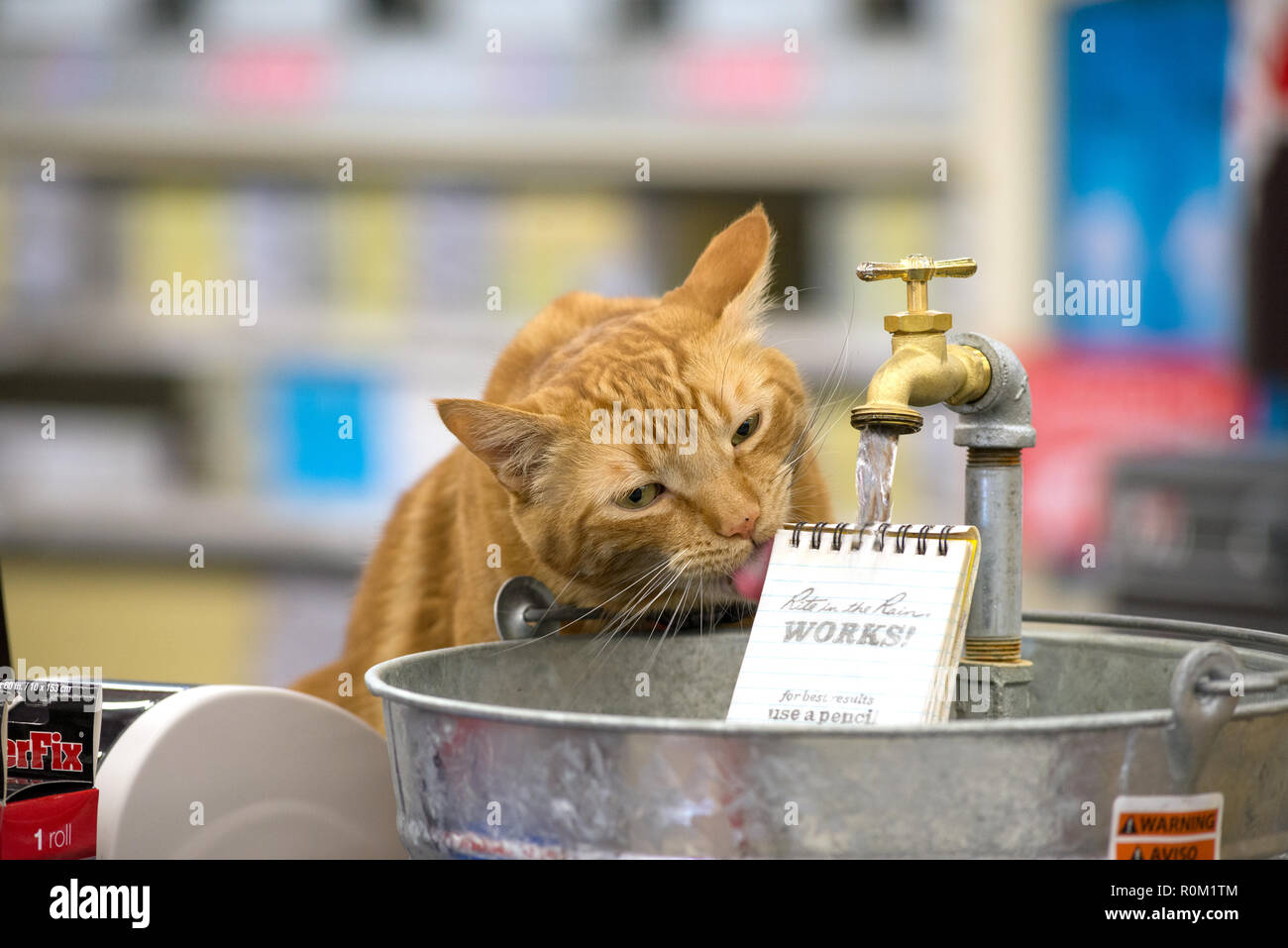 Cat drinking out of Rite in the Rain display in a hardware store in Baker City, Oregon. - Stock Image