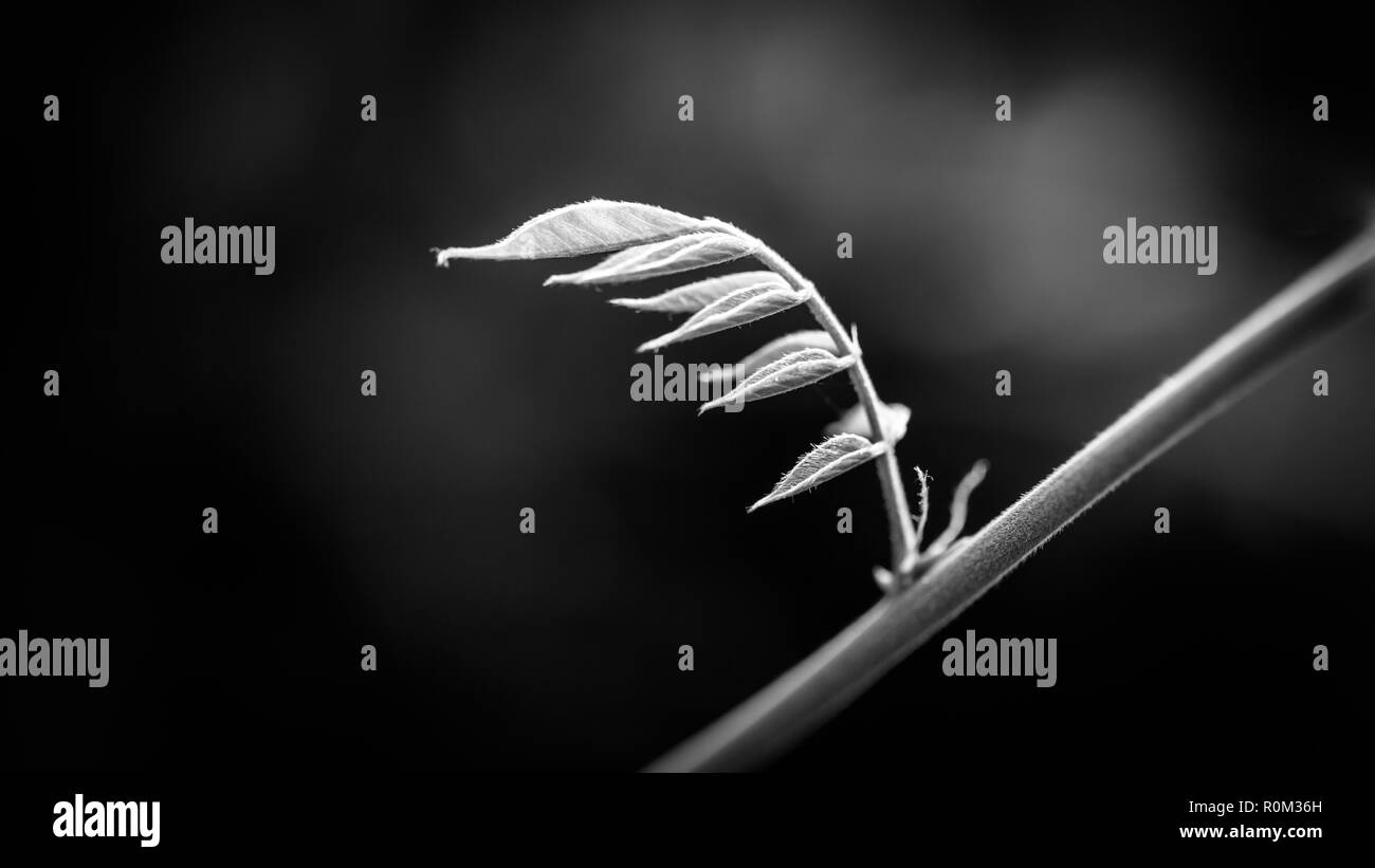 Black and white leaf buds. Fresh spring summer nature, tree branch and blurred background, dramatic and artistic nature banner - Stock Image