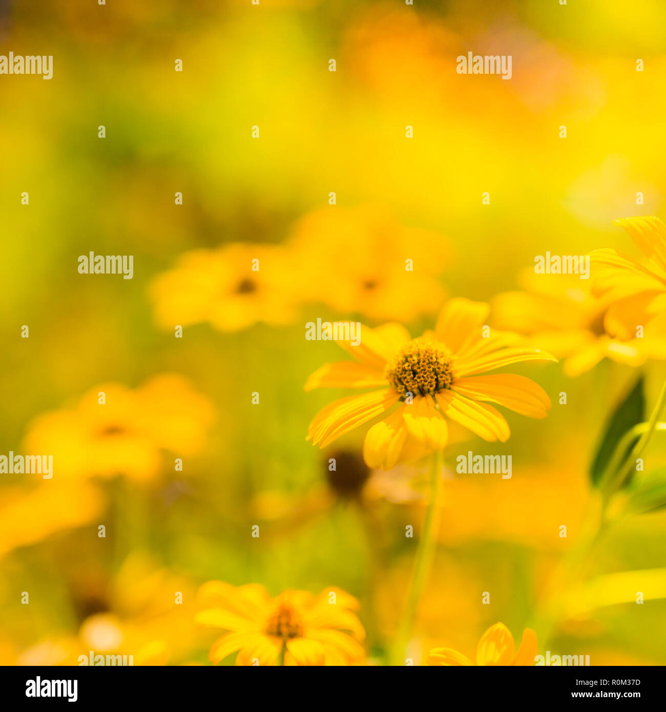 Beautiful spring summer yellow flowers and blurred bokeh background. Tranquil nature scene, blooming flowers and meadow field concept. Relaxing nature - Stock Image