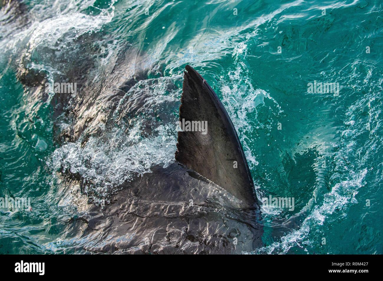 Shark Fin Above Water Stock Photos & Shark Fin Above Water