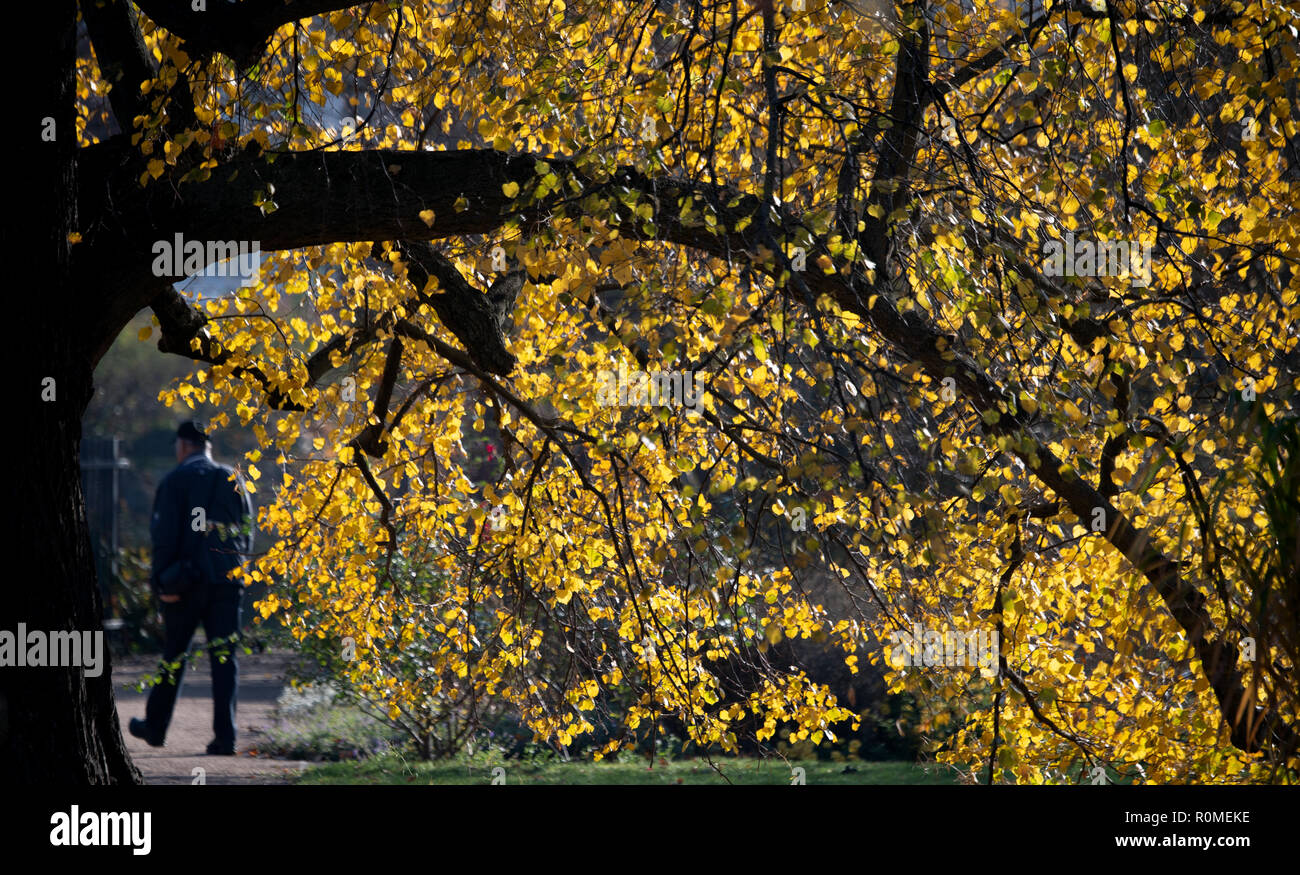 Potsdam, Germany. 06th Nov, 2018. Autumn leaves shine yellow on a tree against the light of the low sun. Credit: Ralf Hirschberger/dpa/ZB/dpa/Alamy Live News - Stock Image