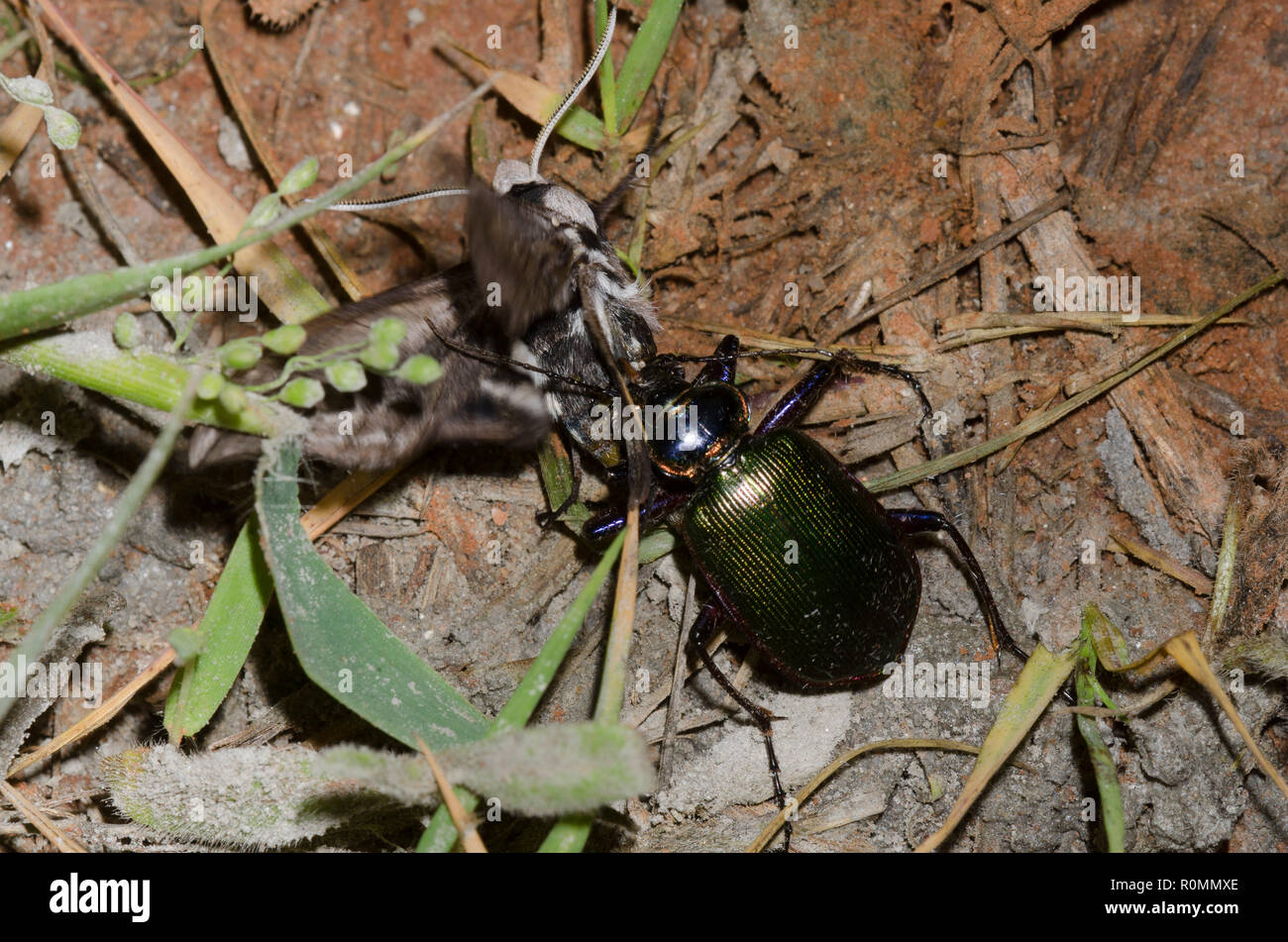 Caterpillar Hunter, Calosoma sp., capturing Vashti Sphinx, Sphinx vashti - Stock Image