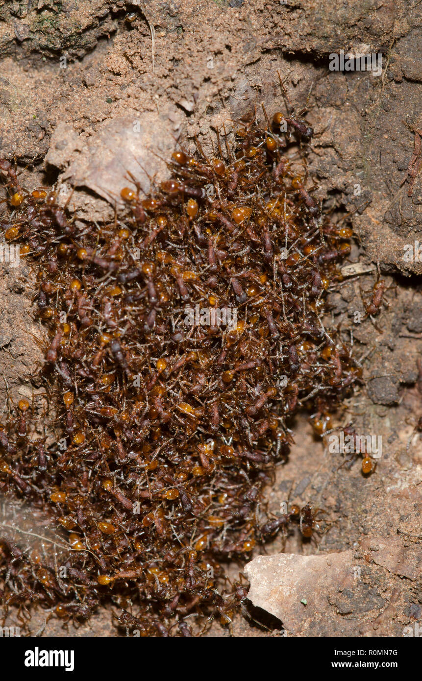 Legionary Ants, Neivamyrmex nigrescens, in bivouac Stock Photo