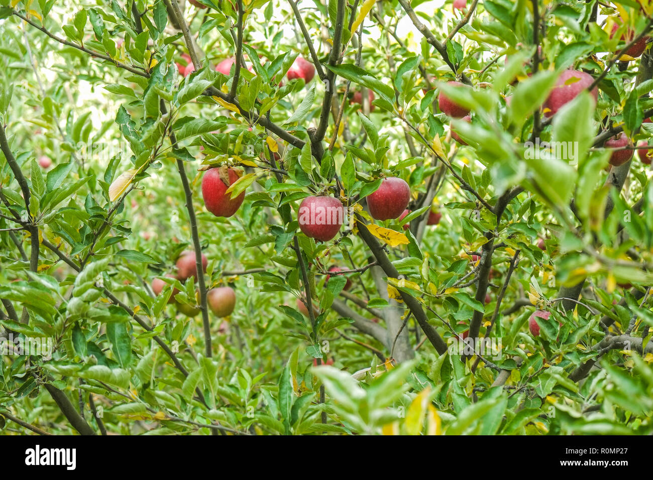 Apple trees in an orchard. Passu village, Gilgit-Baltistan, Pakistan. - Stock Image