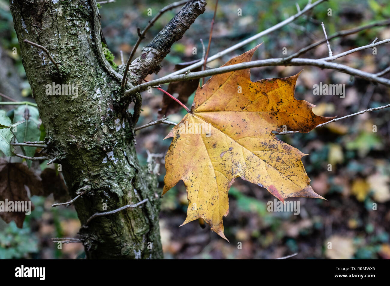 Dead leaf of yellow color - Stock Image
