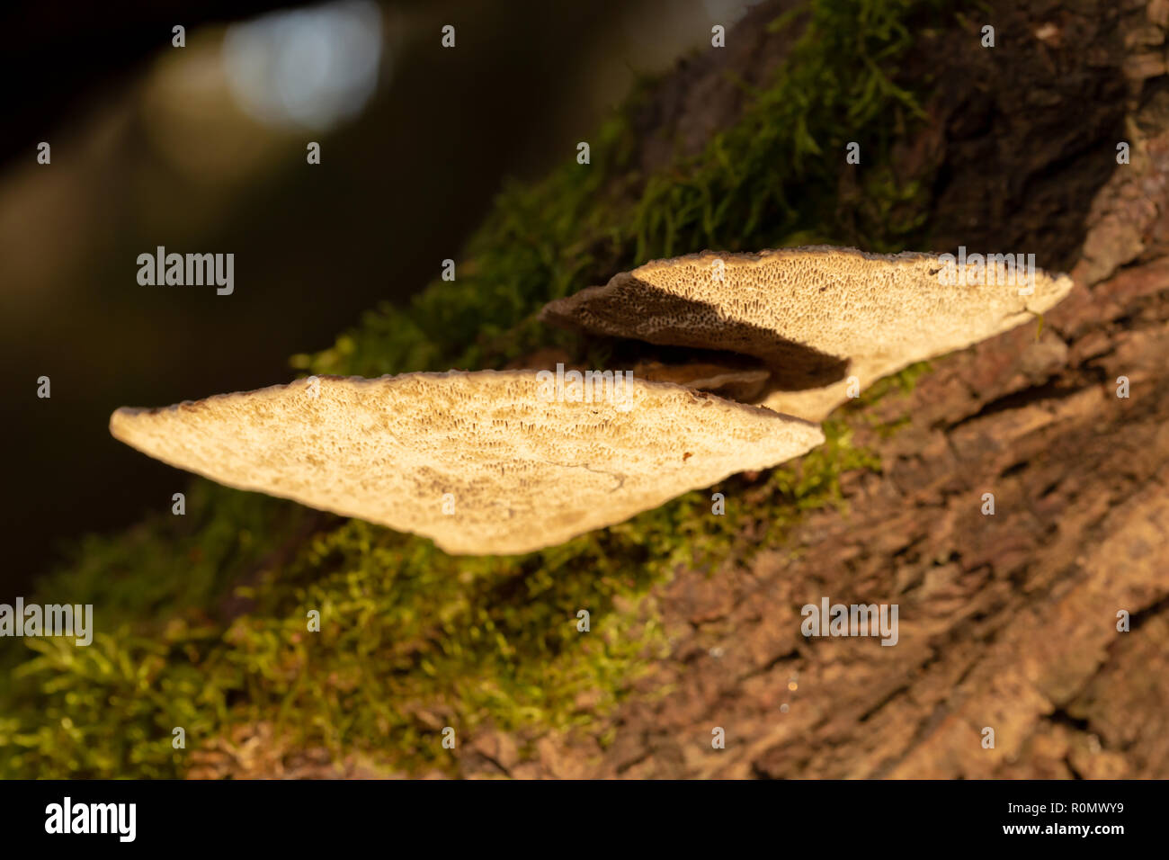 Colour photograph of a group of Blushing bracket polypores growing on-side of Willow branch shot with off camera flash with yellow filter from below. - Stock Image