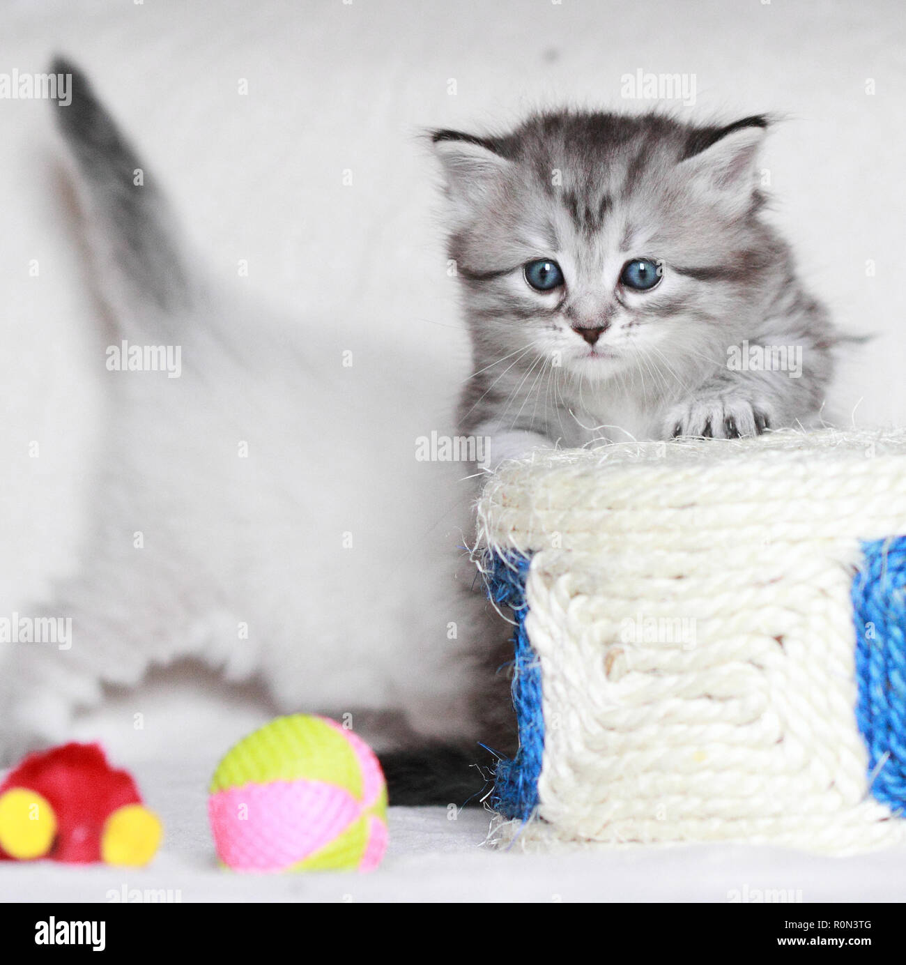 Nice puppy cat in Christmas time, silver color - Stock Image