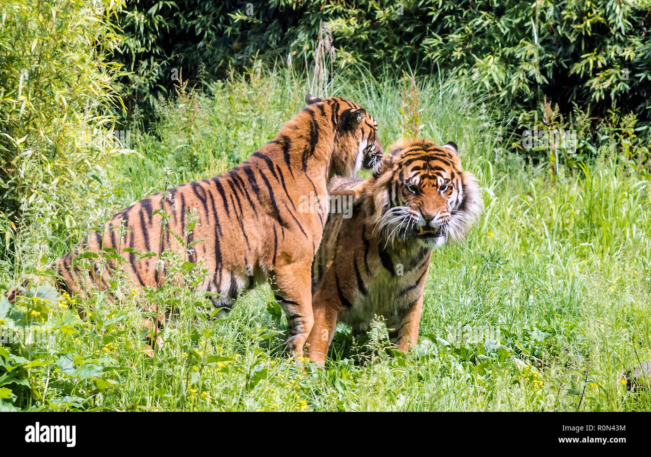 Sumatran tigress (Panthera tigris sondaica) teasing male tiger. Adult tigers lead largely solitary lives, but are not always territorial. - Stock Image