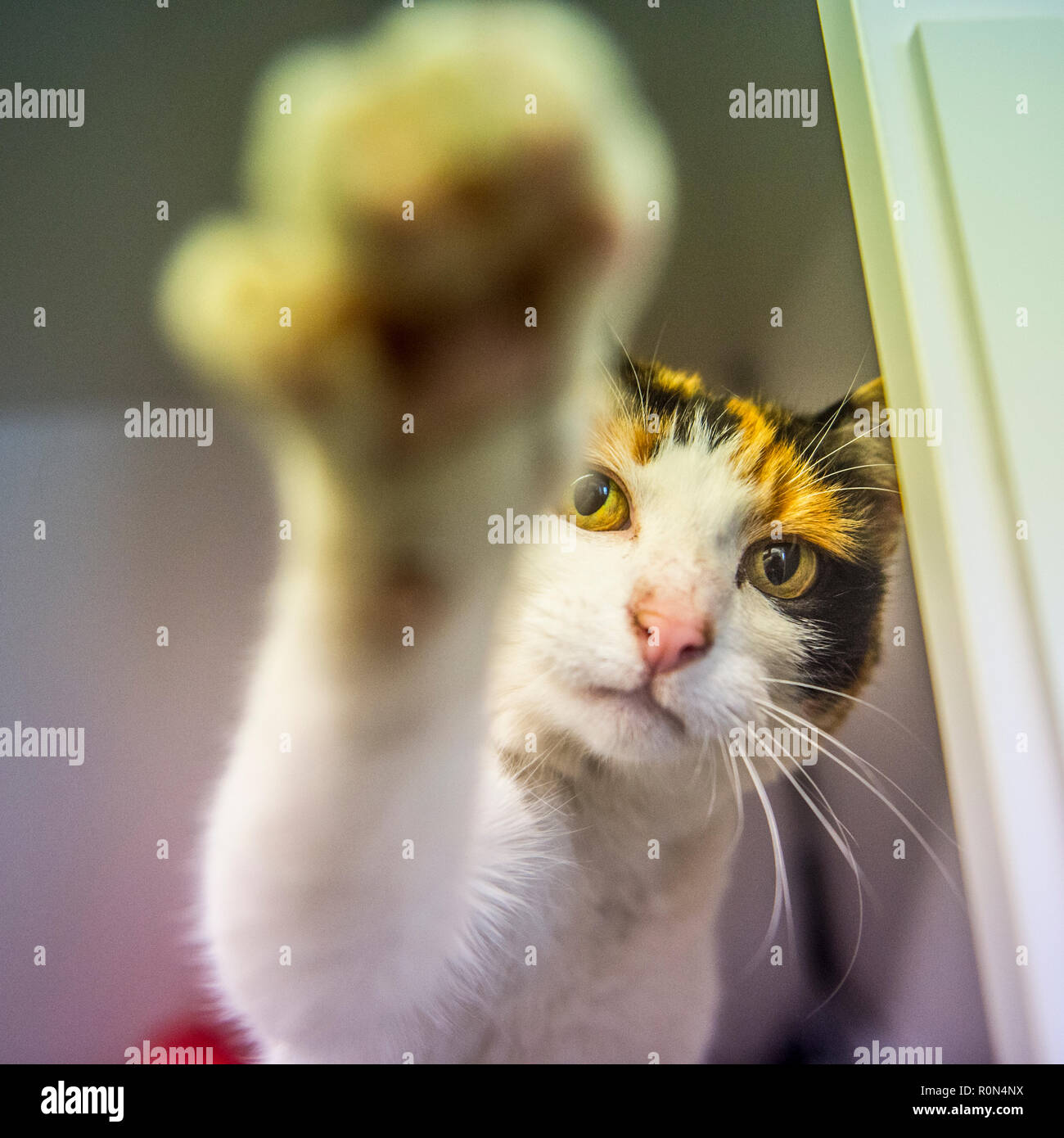 cat attacking photographer - Stock Image