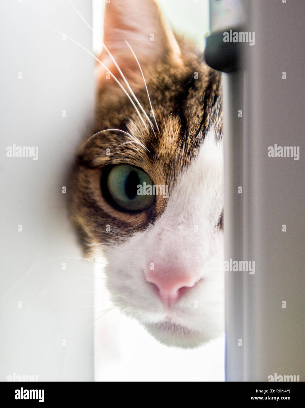 curious cat looking through door - Stock Image