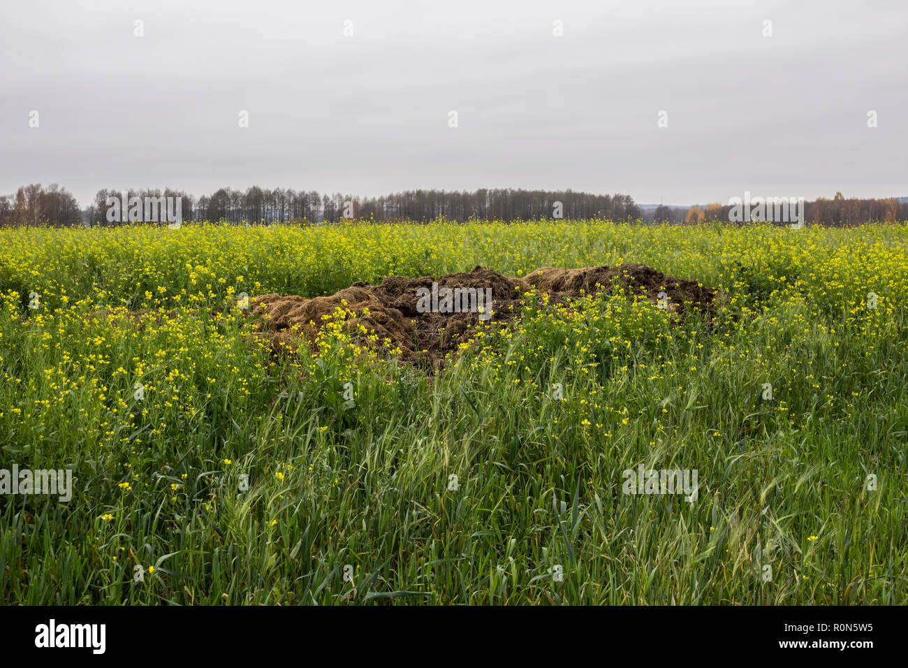 Late autumn. A large pile of fertilizer from cow dung and straw on the field of blooming yellow mustard (Sinapis alba). Podlasie, Poland. Stock Photo