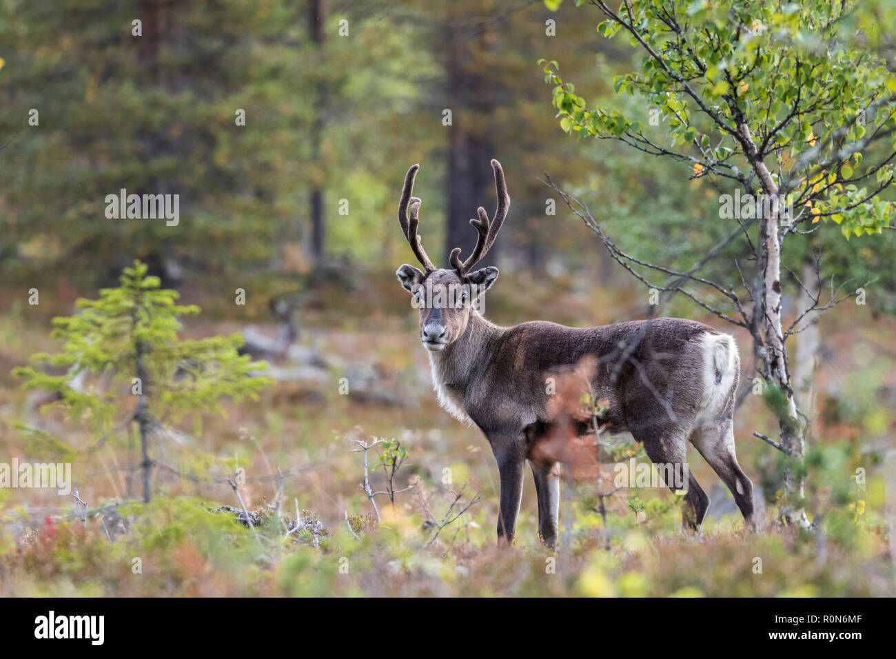 Reindeer, Rangifer tarandus walking in forest, having big antlers, looking in to the camera, Gällivare county, Swedish Lapland, Sweden - Stock Image