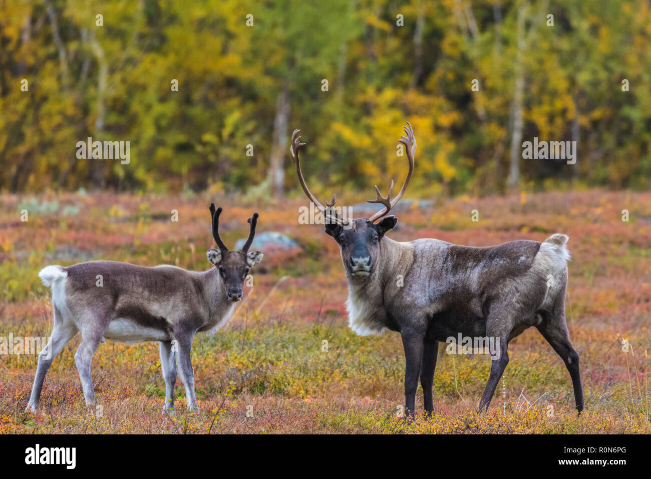 Two Reindeers, Rangifer tarandus, looking in to the camera, autumn season with yellow trees in background, Stora sjöfallets national park, Laponia, Gä - Stock Image