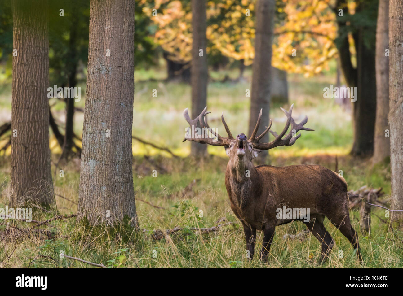 Stag during rut season bellowing at Jaegersborg dyrehaven, Denmark - Stock Image