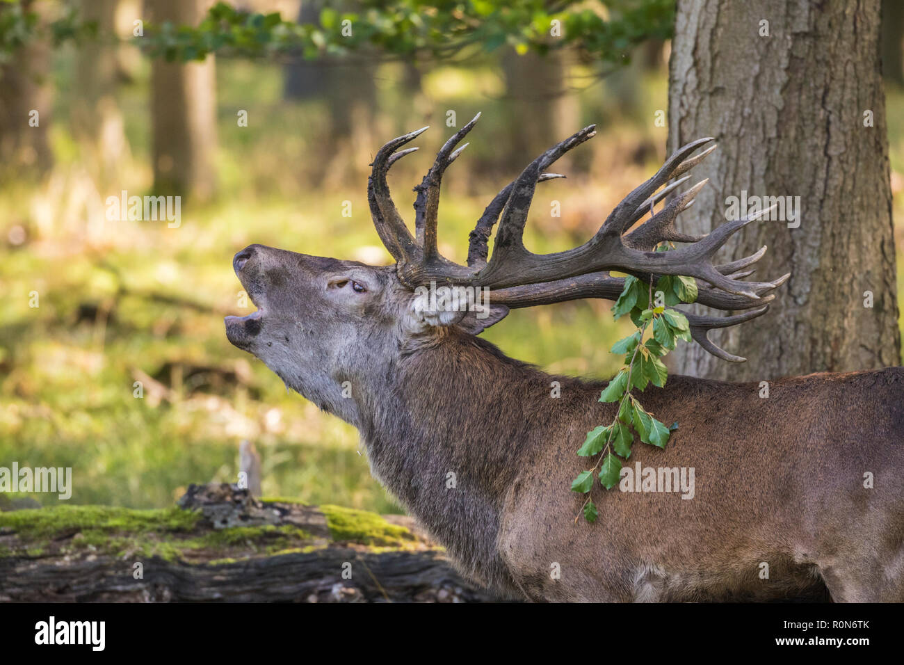 Stag during rut season bellowing, having a piece of a tree bransch in his antler,  at Jaegersborg dyrehaven, Denmark - Stock Image