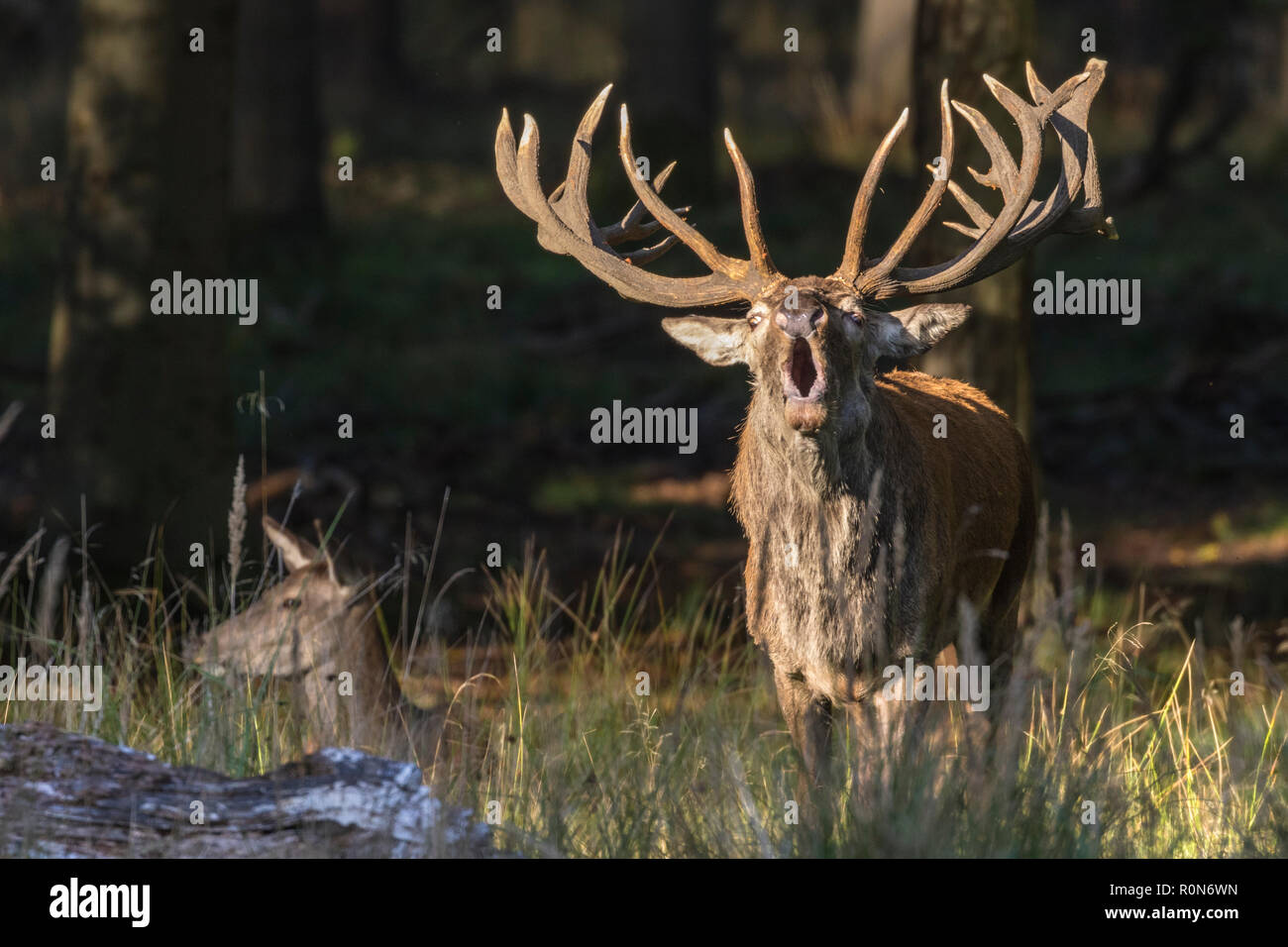 Stag during rutseason bellowing, looking in to the camera and a hind lying beside him,  Jaegersborg, Denmark - Stock Image
