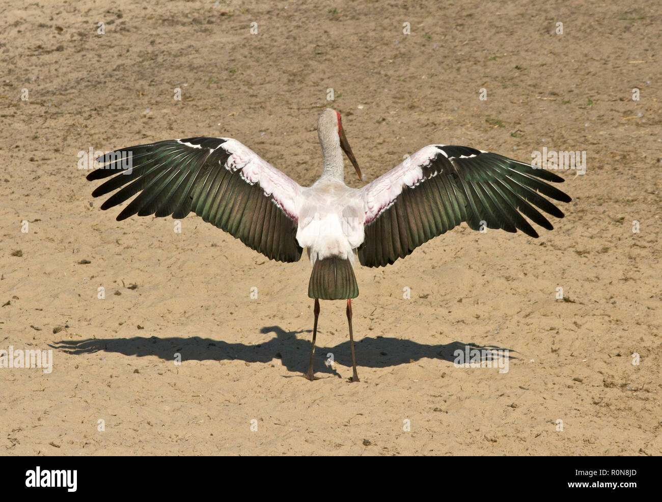 The Yellow-billed Stork has a worldwide distribution in tropical regions and often known as a Wood Stork. They have a fast walk as they wade - Stock Image