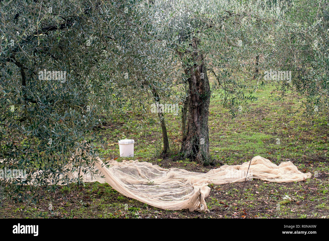 Preparations for olive harvest in rural north Tuscany with nets already in position. Small scale agriculture. - Stock Image