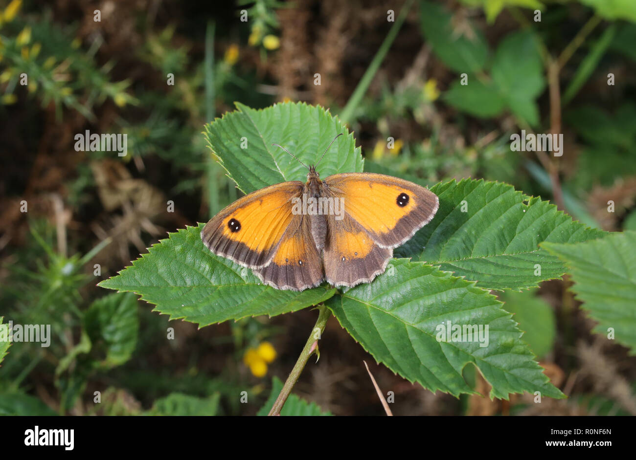 A Gatekeeper butterfly resting on a leaf with its wings open.  Seen in the English midlands in 2016. - Stock Image