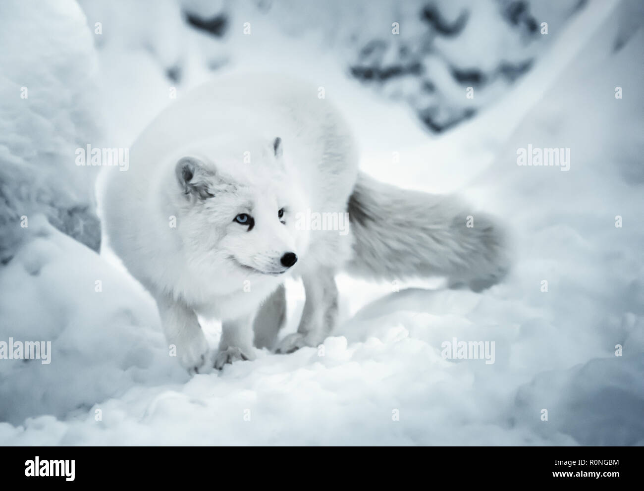 Winter landscape with one adult white polar fox or alopex lagopus in Finnish Lapland on real snow background. White animal is full of attention and li - Stock Image