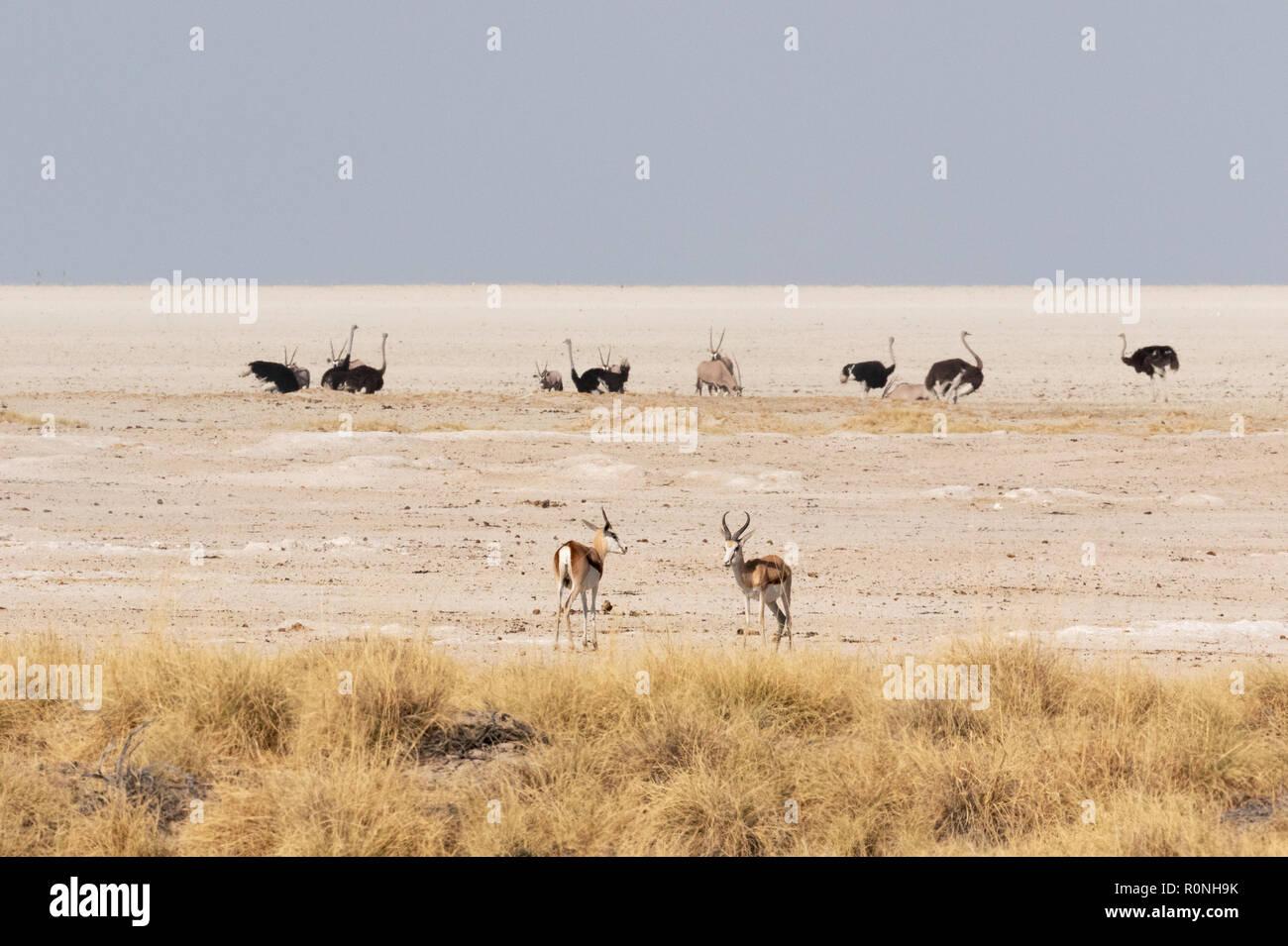 Etosha Pan - wildlife on the edge of the salt pan landscape, Etosha national park, Namibia Africa - Stock Image