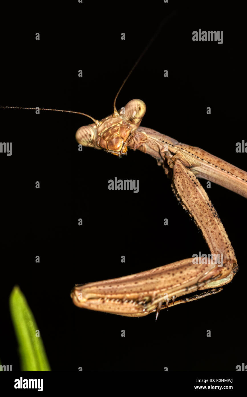 Macro photo of brown praying mantis head and arms with eyes in focus on a black background and one piece of green grass in soft focus - Stock Image