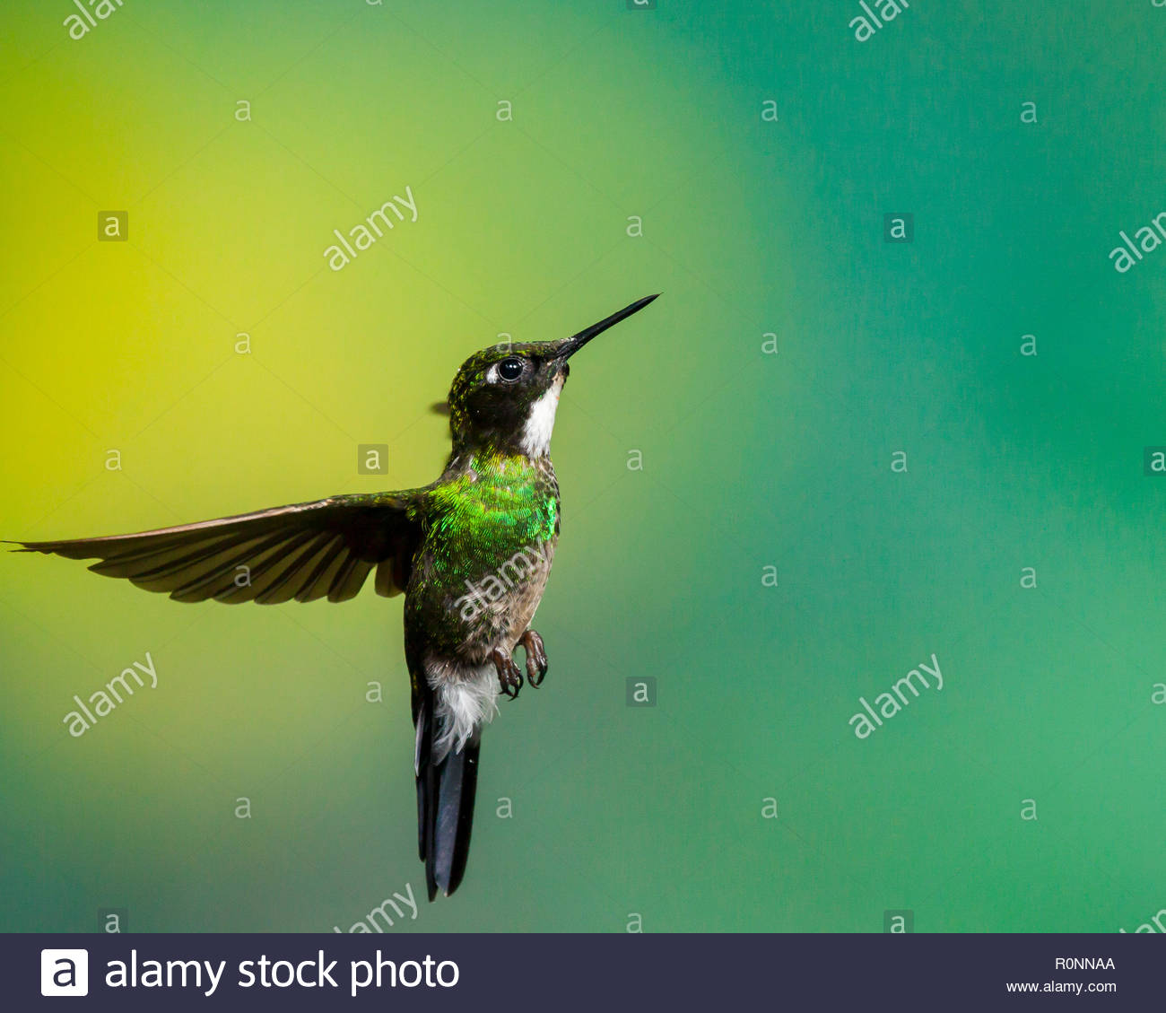 Tourmaline sunangel caught with wings fully swept back in this stop action. - Stock Image