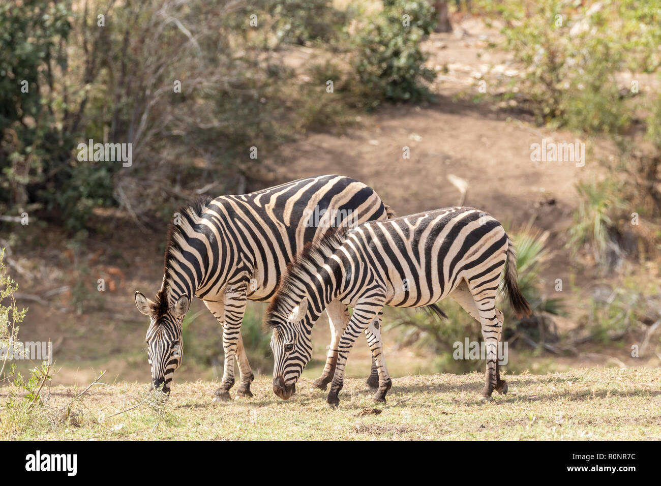 Mother and foal Burchells Zebra, Equus quagga burchellii, grazing next to river in Kruger National Park, South Africa Stock Photo