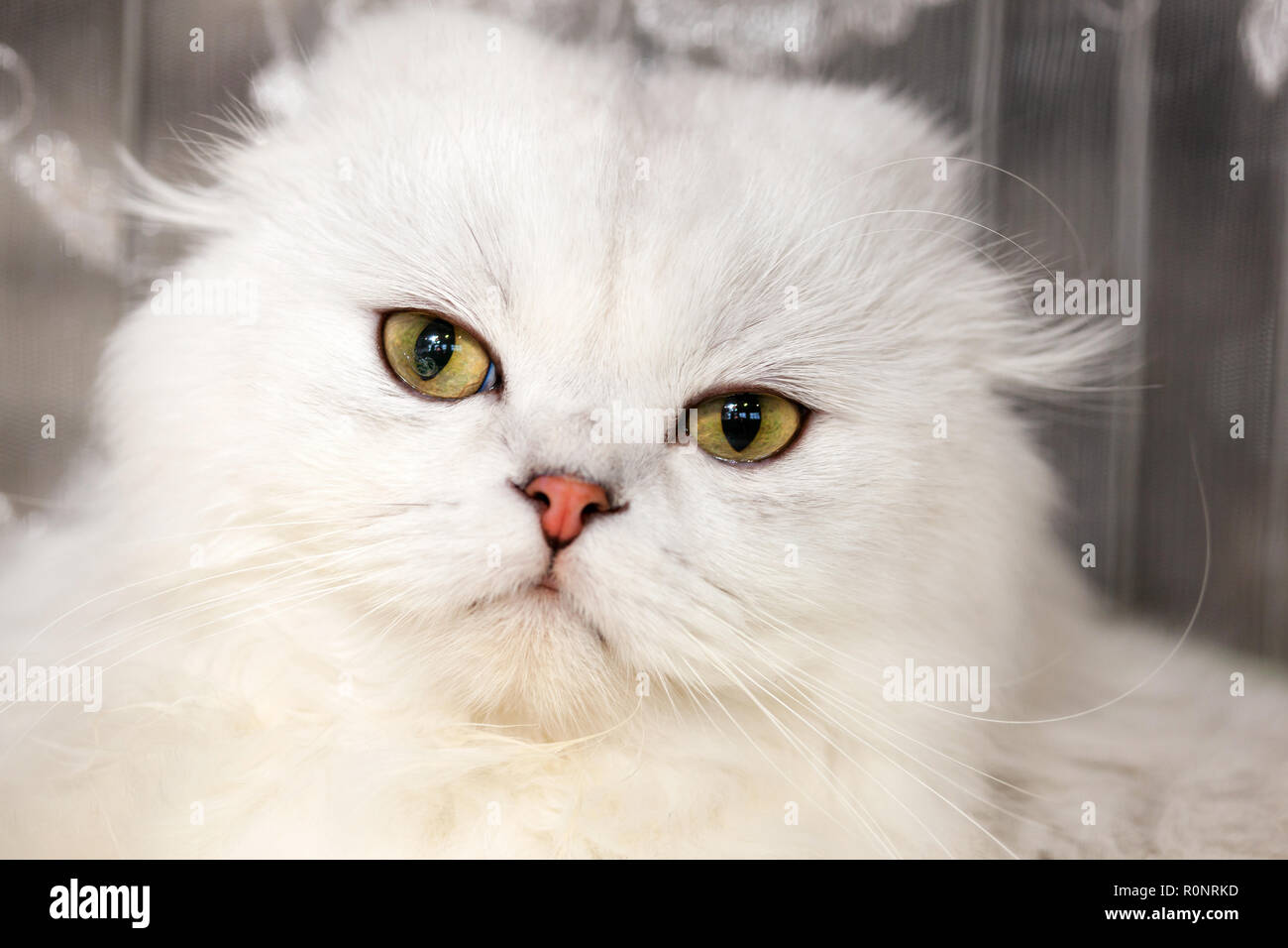 Portrait of a Norwegian forest cat of white color. - Stock Image