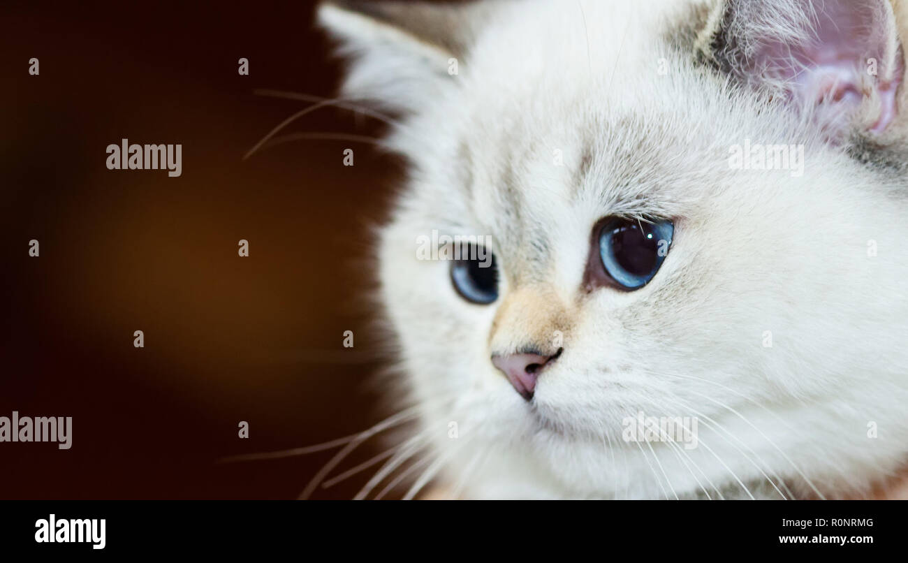 Portrait of a British Cat white color with blue eyes. - Stock Image