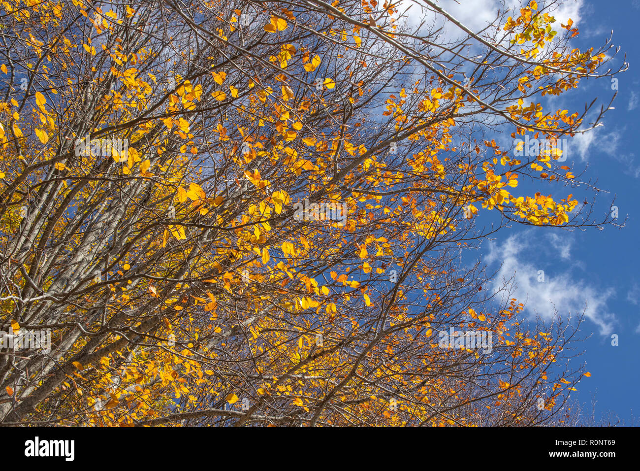Branches of a tree with golden autumn leaves against a blue sky with clouds. Greece - Stock Image