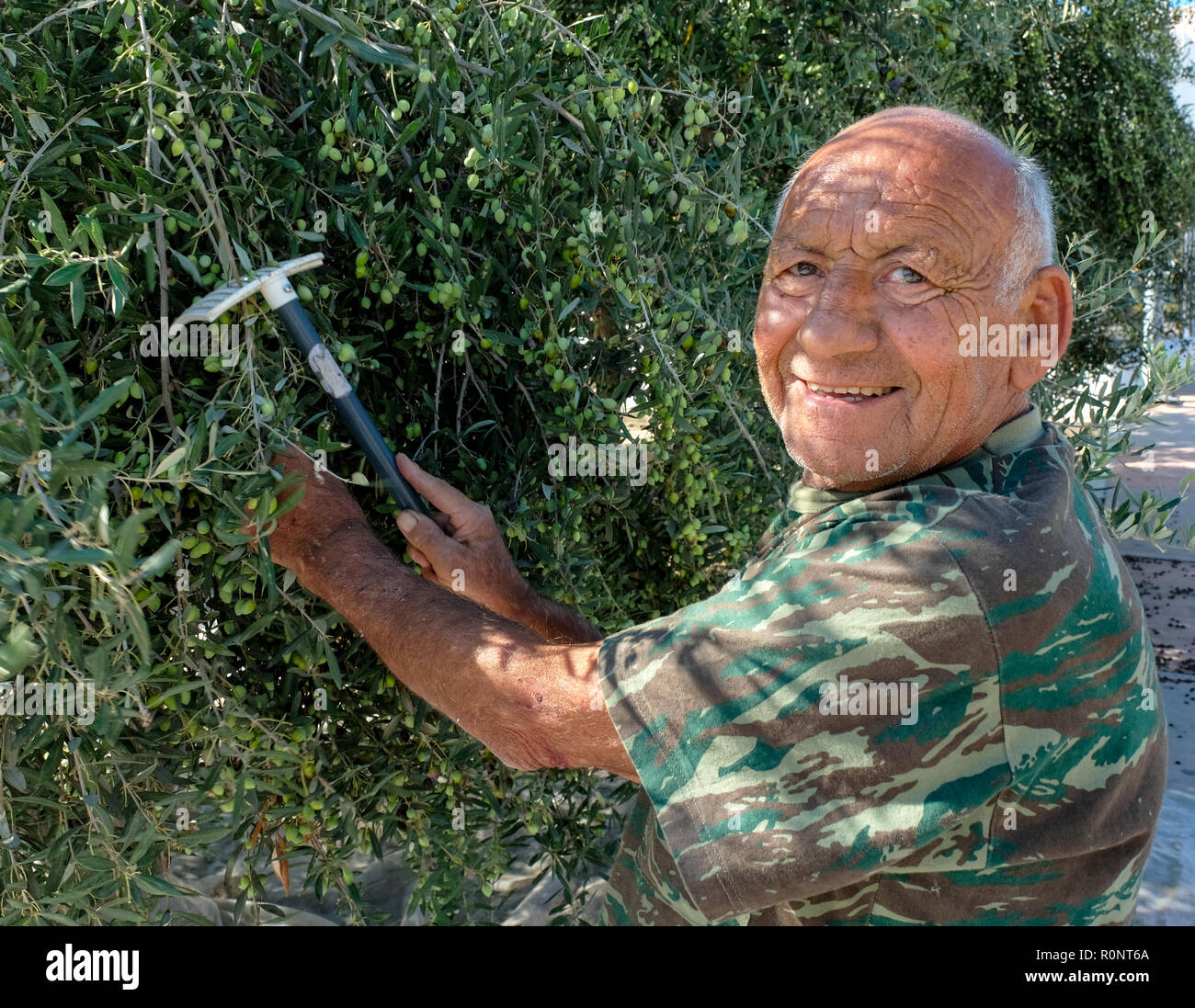 Man collecting olives in Paphos, Cyprus. - Stock Image