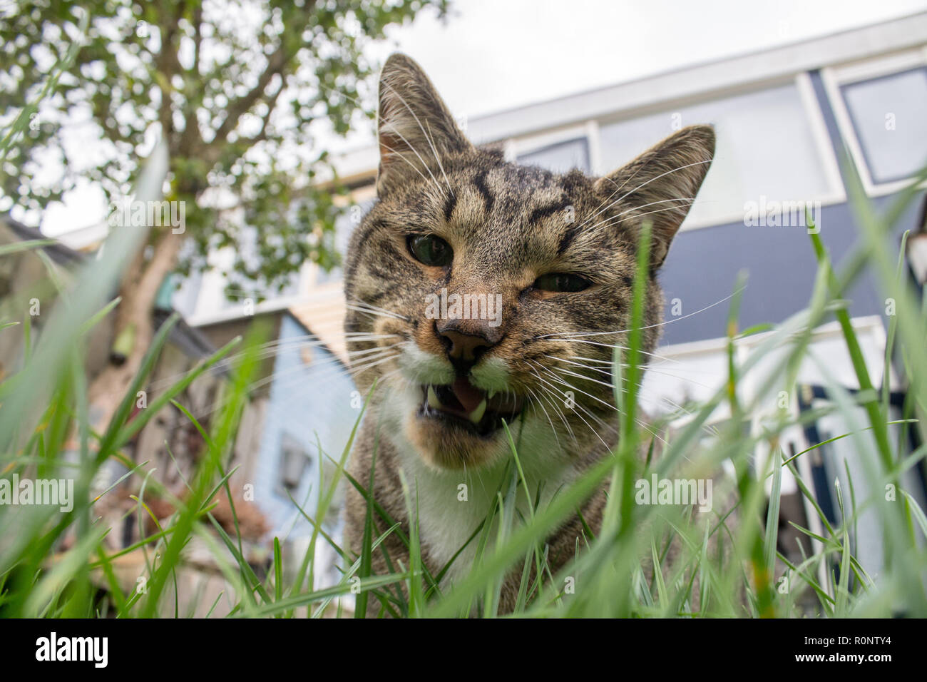Cat eating fresh grass in the back yard. You can clearly see his eating in action with his teeth exposed. - Stock Image