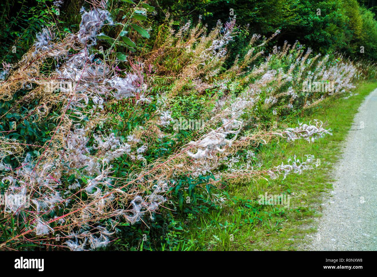 Fireweed, Rosebay willow-herb, Great willow-herb (Epilobium angustifolium, Chamerion angustifolium), growing wild beside counrty path Stock Photo