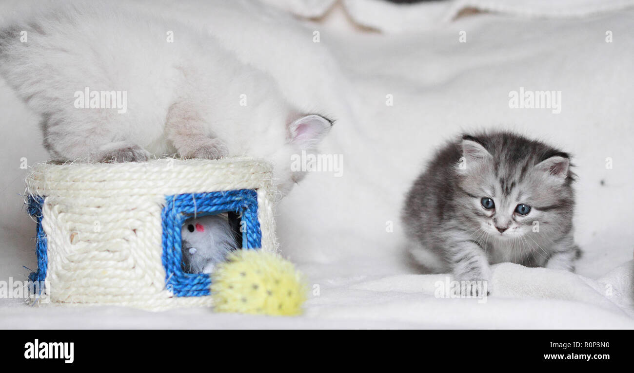 Puppies playing on a white blanket, siberian purebred - Stock Image