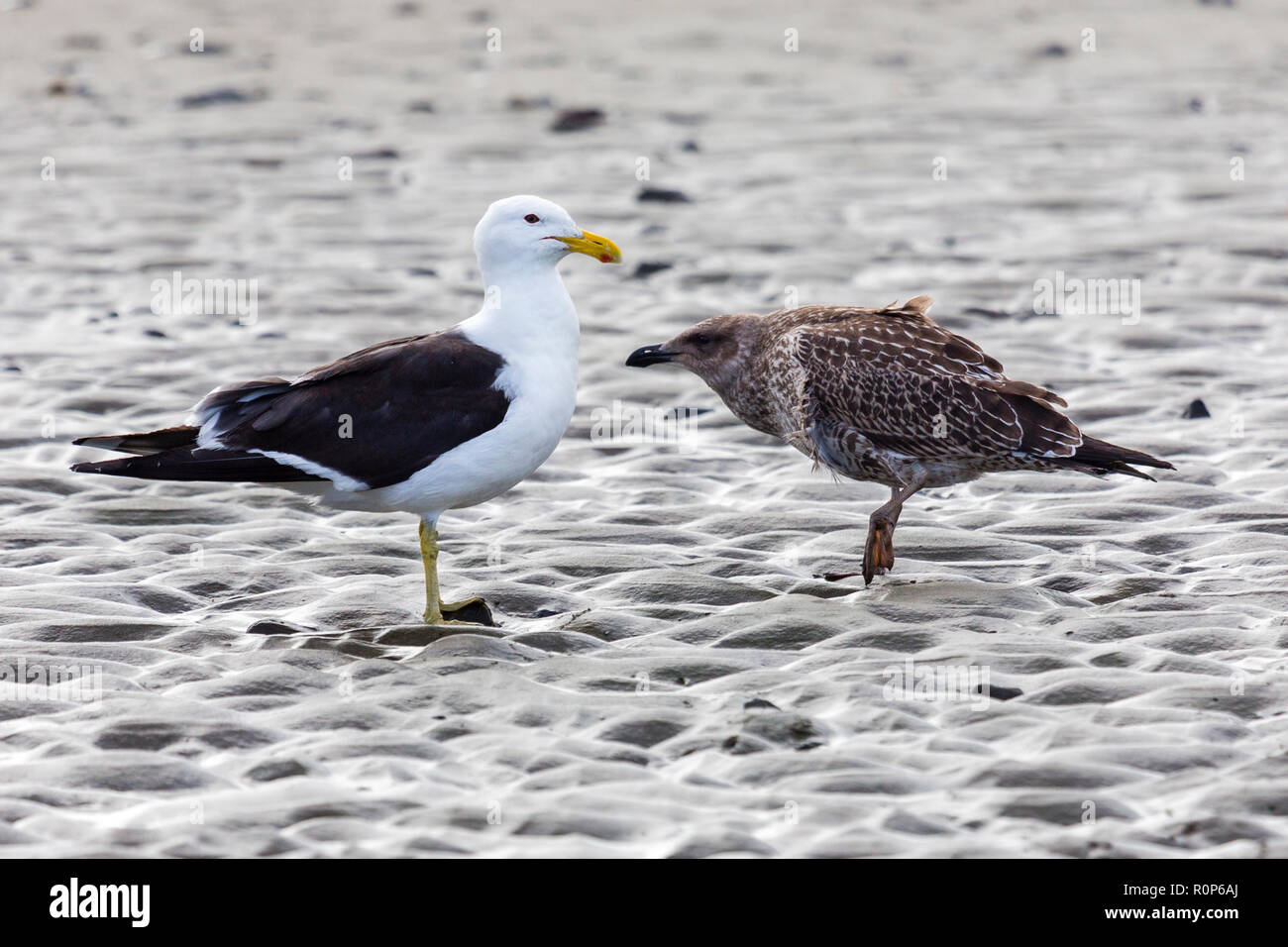 segull courtship at the Beach, New Zealand - Stock Image