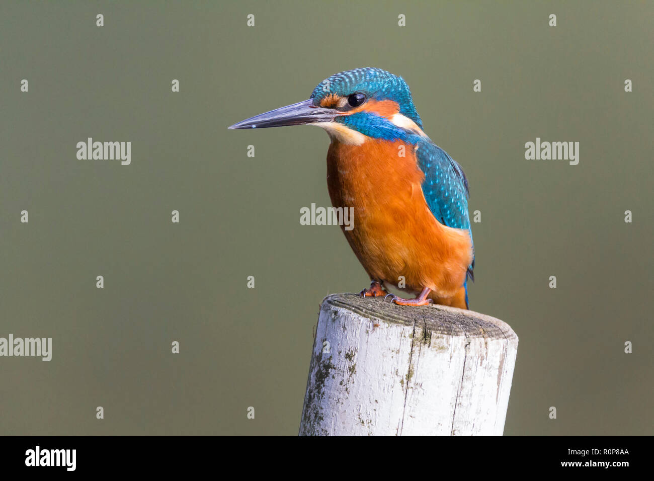 Kingfisher (Alcedo atthis) close up perched on post right in front of bird hide. Large dagger like black bill (male) electric blue and orange plumage. - Stock Image