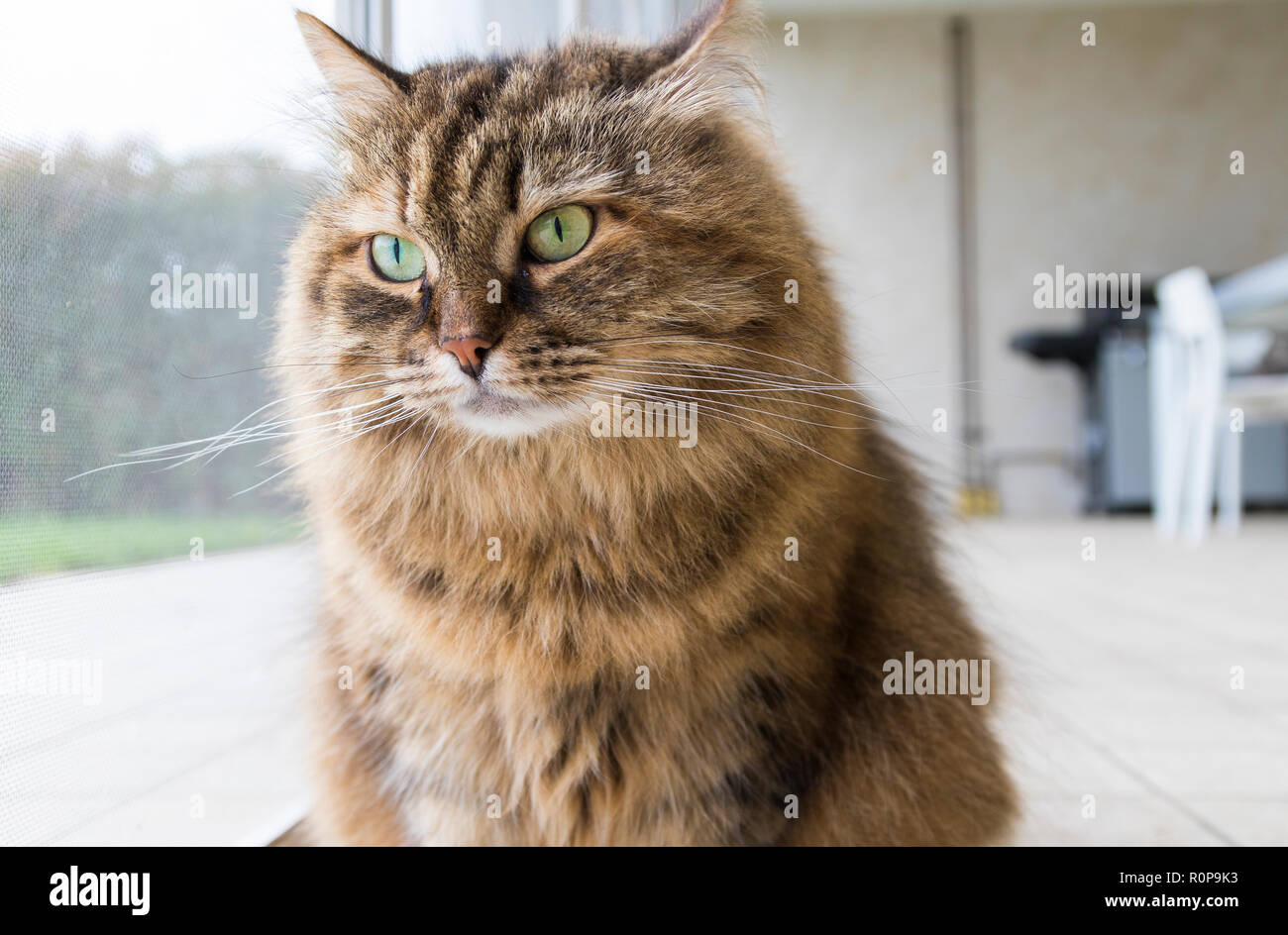 Curious livestock cat looking outdoor, funny pet - Stock Image