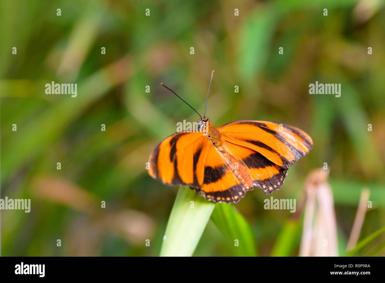 Banded Orange butterlfy (Dryadula phaetusa) on leaf - Stock Image