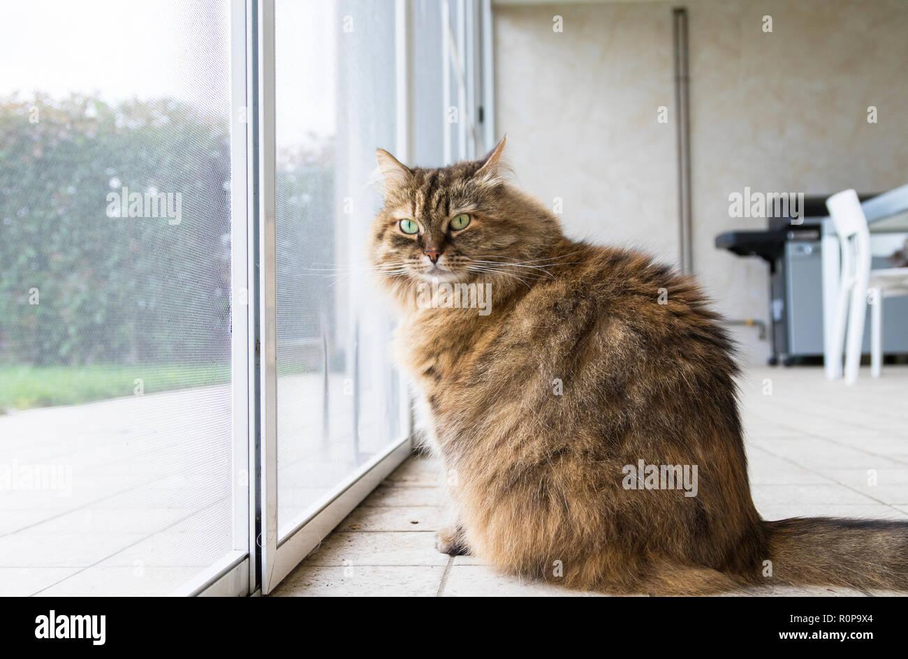 Tabby livestock cat at the window, curious pet - Stock Image