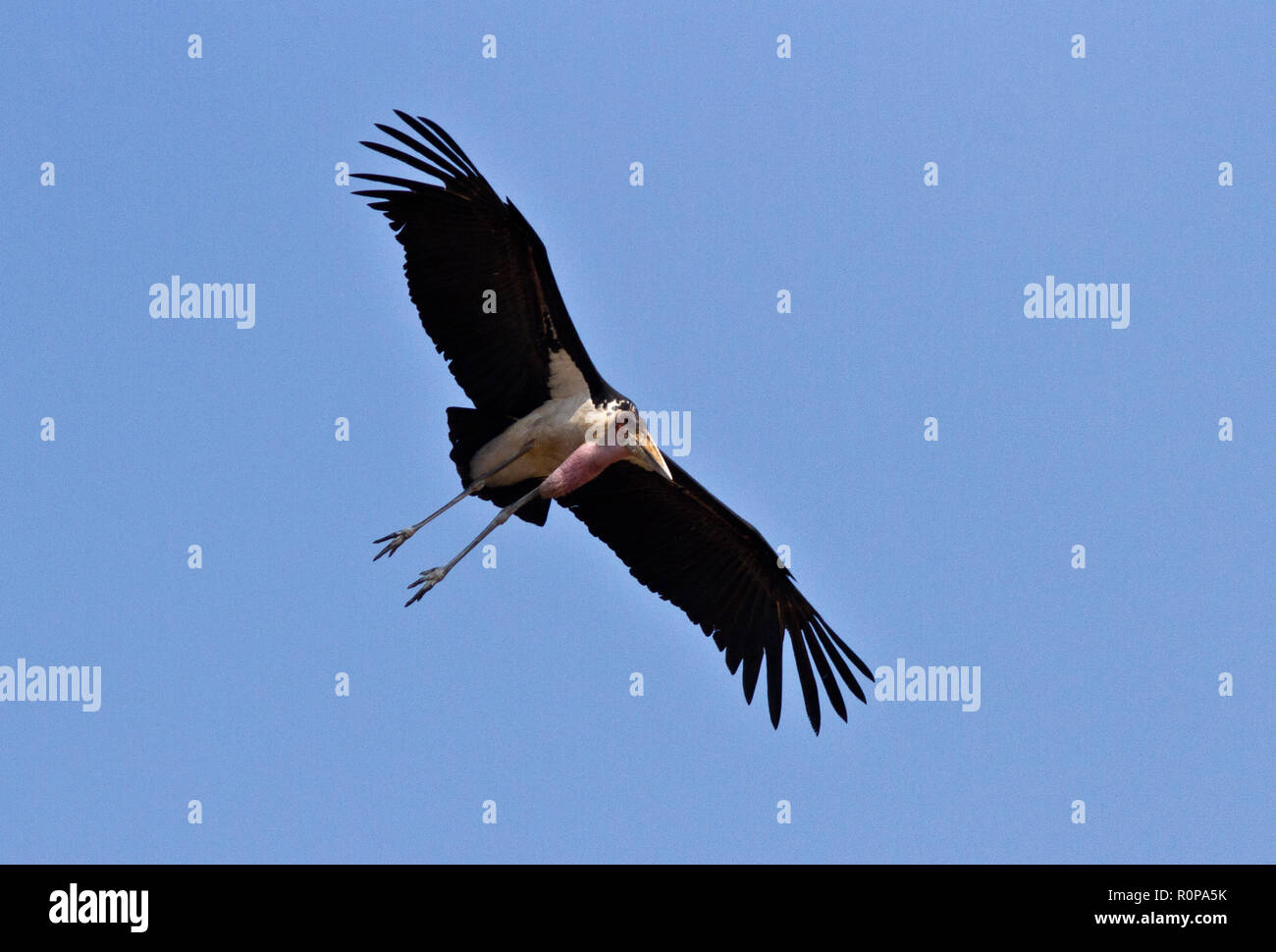 The Marabou keeps watch in vulture activity and quickly locates any activity on a carcass and flies into feed on some of the largest wings - Stock Image