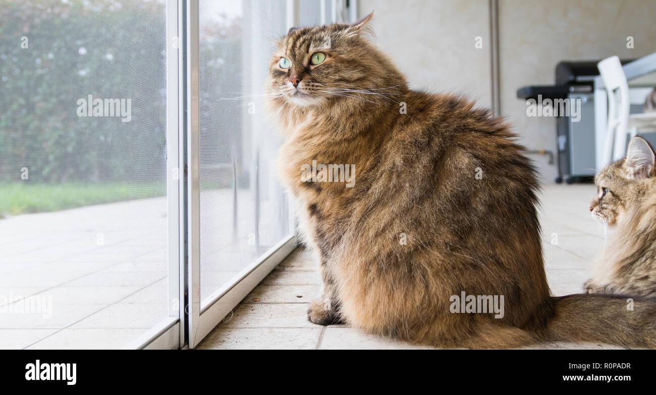 Brown livestock cat at the window, curious pet - Stock Image
