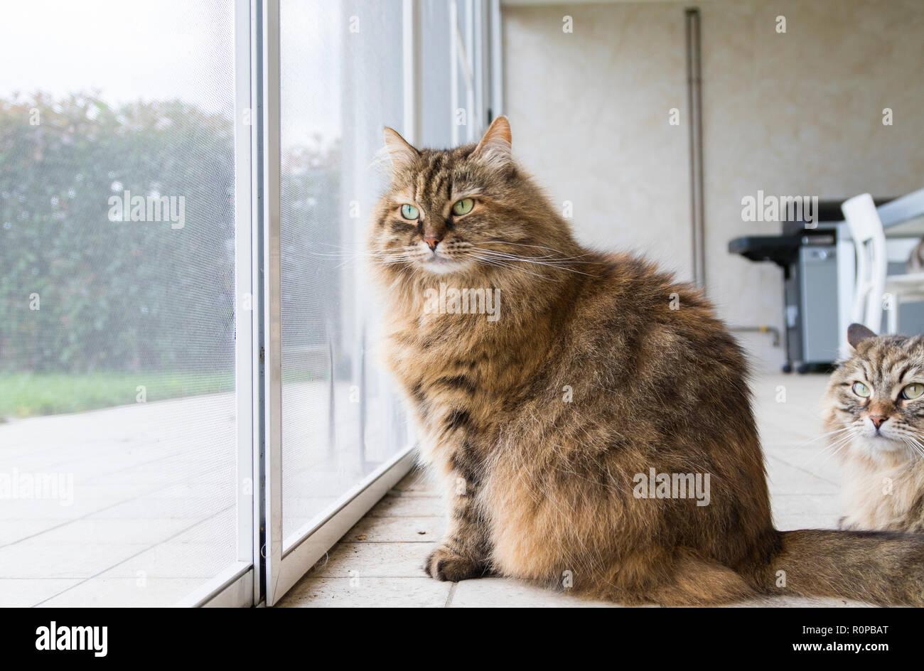 Beautiful livestock cat at the window, curious pet - Stock Image