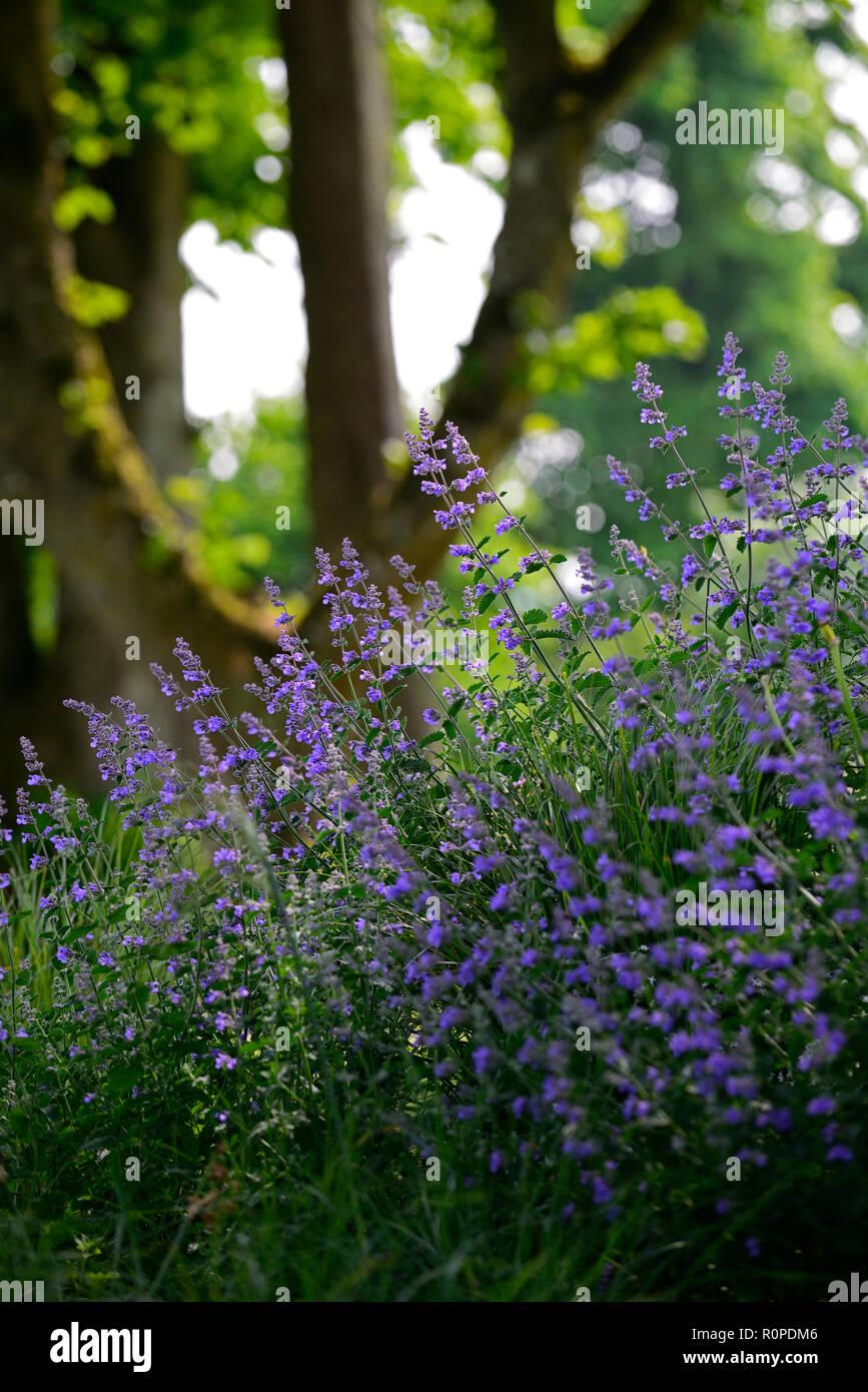 Nepeta Six Hills Giant,Catnip,Catmint,violet,blue,flower,flowers,flowering,scented,perfumed,sidelit,sidelighting,garden,RM Floral - Stock Image