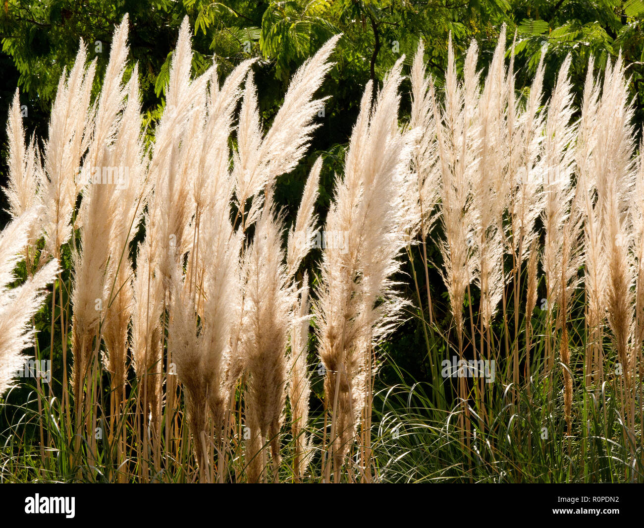 Reed, Jardines del Turia, Turia river. Valencia, Spain - Stock Image